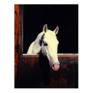 Lipizzaner Horse Postcard