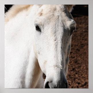 Lipizzaner Horse Print