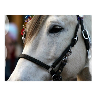 Lippizan Horse Postcard