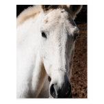 Lippizaner Horse Greeting Card Postcard