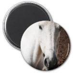 Lippizaner Horse Magnet Fridge Magnet