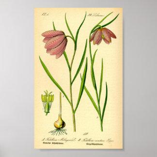 Lirio a cuadros (meleagris del Fritillaria) Póster