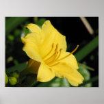 Lirio amarillo impresiones