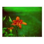 Lirio anaranjado de la flor tarjetas postales
