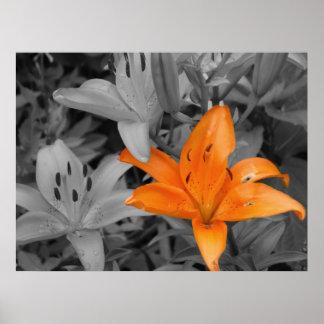 Lirio anaranjado impresiones