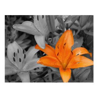 Lirio anaranjado Mano-Coloreado Tarjetas Postales