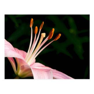 Lirio asiático rosado postal