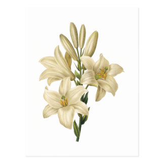 lirio blanco (Lilium candidum) por Redouté Tarjetas Postales