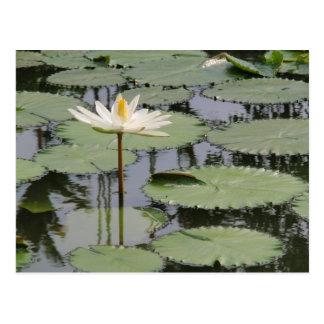 Lirio blanco Lotus Postales