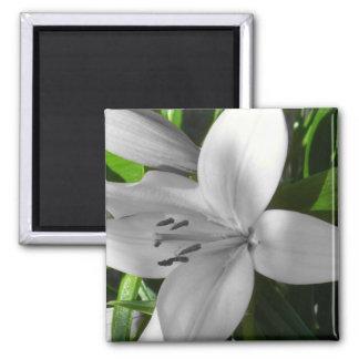 Lirio blanco y negro anguloso imán cuadrado