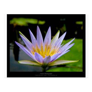 Lirio de agua azul de la flor 026 tarjeta postal