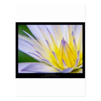 Lirio de agua azul de la flor 028 postales