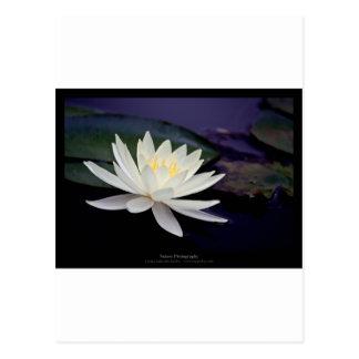 Lirio de agua blanca de la flor 039 tarjetas postales