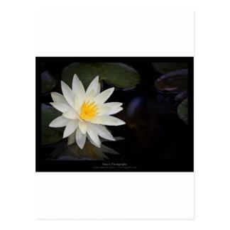 Lirio de agua blanca de la flor 055 tarjetas postales