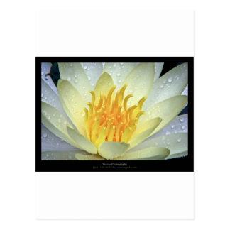 Lirio de agua blanca de la flor 061 tarjeta postal