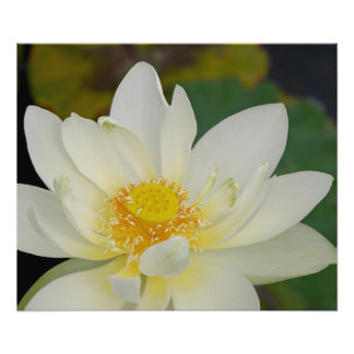 Lirio de agua cremoso de Lotus Fotografía