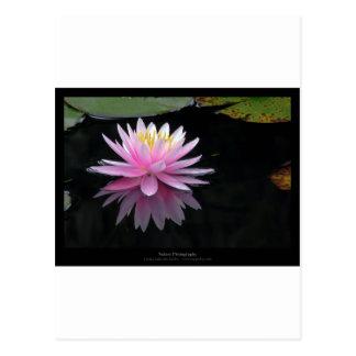 Lirio de agua rosado de la flor 017 postales
