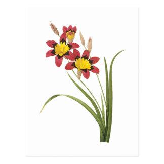 lirio de maíz (Ixia tricolor) por Redouté Postal
