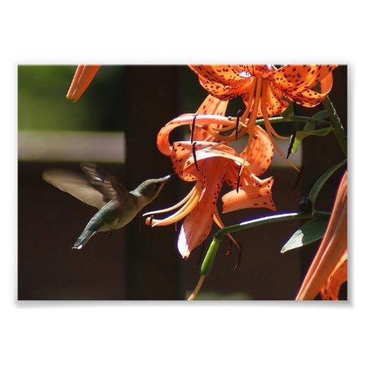 Lirio del colibrí impresión fotográfica 7 x 5 fotografía