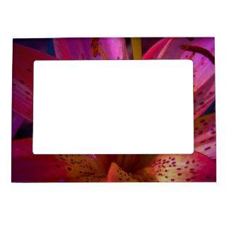 Lirio rosado hermoso foto de imanes