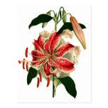 Lirio rosado y blanco de Botanicals antiguo Postal