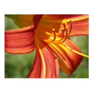 Lirio tigrado anaranjado tarjeta postal
