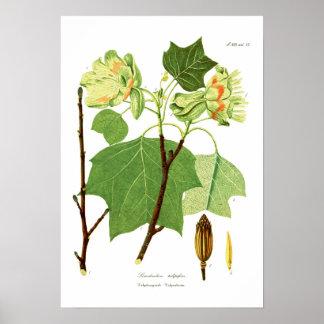 Liriodendron tulipifera print