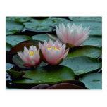 Lirios de agua en rosa tarjetas postales