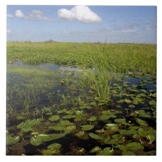 Lirios de agua y sawgrass en los marismas de la Fl Azulejos