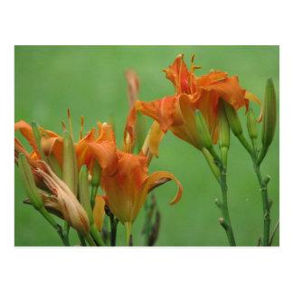 Lirios de día anaranjados postal
