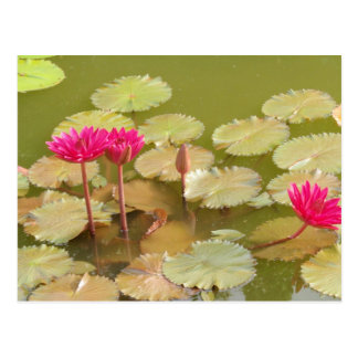 Lirios rosados del loto postal
