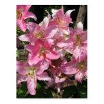 Lirios rosados hermosos postal