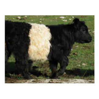 Little Black Beltie Calf Postcard