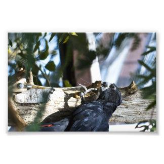 little black parrot photo