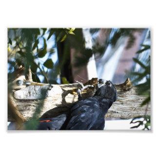 little black parrot photograph