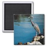 Little blue heron 2 inch square magnet