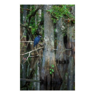 Little Blue Heron in Cypress Swamp Poster