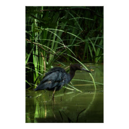 Little Blue Heron Poster Print print