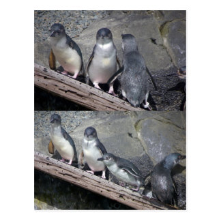 Little Blue Penguins Postcard