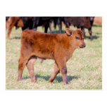 Little Brown Calf Postcard