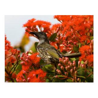 Little Brush Wattlebird Anthochaera Chrysoptera Postcard