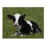 Little Calf Postcards