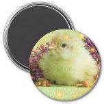 little chicken 3 inch round magnet