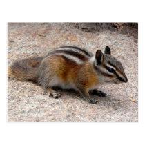 Little Chipmunk on Path Postcard