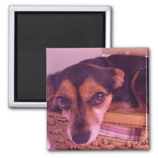 Little Chiwawa Dog Resting Photo Magnet