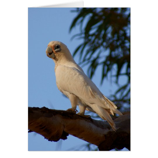 little Corella Card