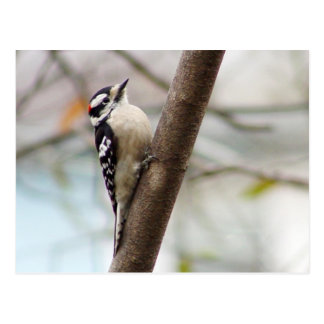 Little Downy Woodpecker Bird Postcard