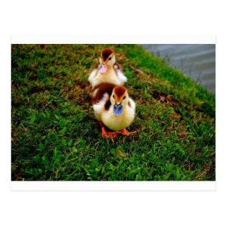 Little Duckies Postcard