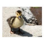 Little Duckling Postcard 葉書き