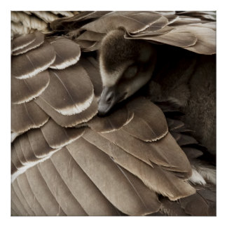 Little gosling all tucked in under mum's wing poster